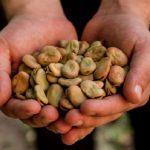Pequeños productores cusqueños exportarán a EE. UU. 30 t adicionales de haba seca pelada