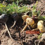 Perú fortalece sistema para proteger de la biopiratería a la maca y uña de gato