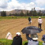 Campaña de siembra de pastos avanza al 80% y alcanza 5850 hectáreas de forraje para ganado en Junín