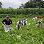 Agrobanco duplicó colocaciones a marzo y benefició a más de 15,000 agricultores
